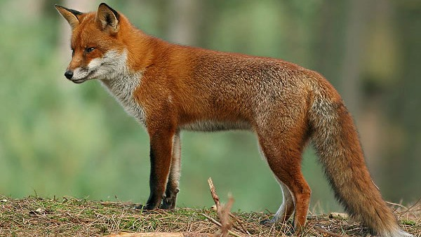 A red fox akin to the one I encountered (Photo © RSPB)