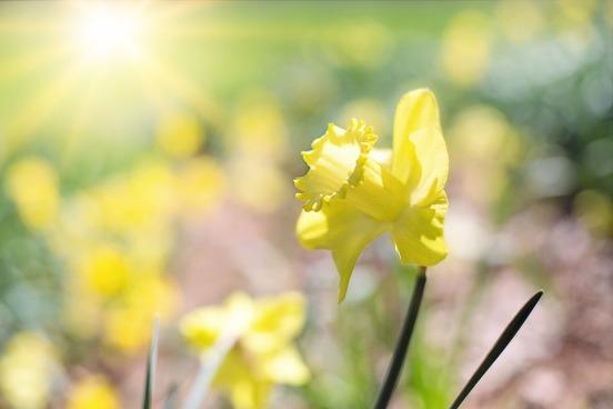 daffodil-1358940_960_720