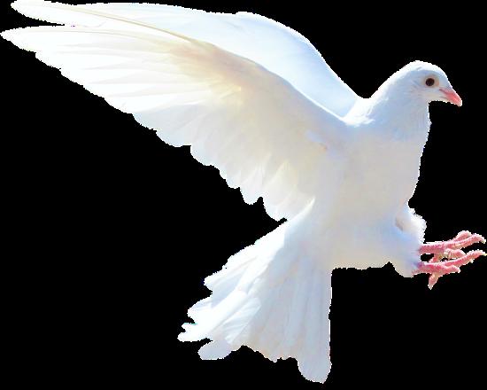 white-dove-1712770_960_720