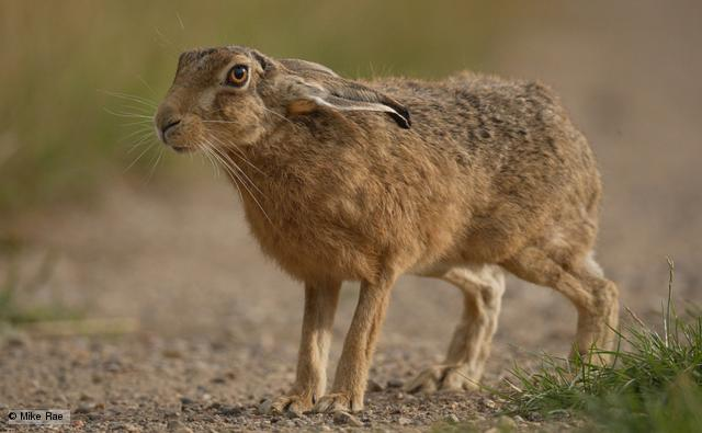 Brown Hare looking with ears down Lepus europaeus