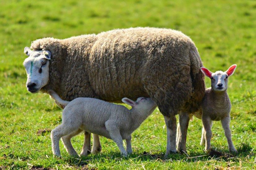 sheep-4148150_1920